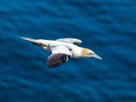 Alan Meek: Troup Head Gannet