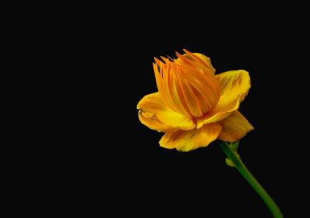 Focus Stacked Trollius by Annette. Black background added later by Kevin.