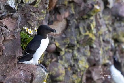 Razorbill by Alan Meek