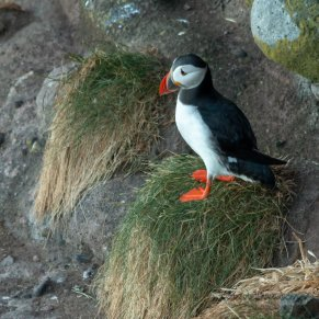Puffin by Kevin Dawson