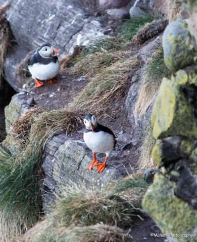 Puffins by Mahan Ad